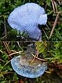 Postia Caesia Syn. Spongiporus caesia (GB= Conifer Blueing Bracket, D= Blauender Saftporling, F= Polypore bleuté des conifères, NL= Blauwe kaaszwam) blue spores and causes white rot, at Hoge Veluwe NP - panoramio.jpg