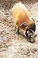 Potamochoerus porcus Dvur zoo 3.jpg