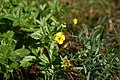 Potentilla-erecta-flower.JPG