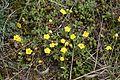 Potentilla incana = Potentilla arenaria (Rosaceae) (27006191766).jpg