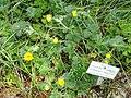 Potentilla megalantha - Botanischer Garten München-Nymphenburg - DSC07613.JPG