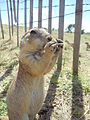 Prairie Dog sitting and eating.jpg