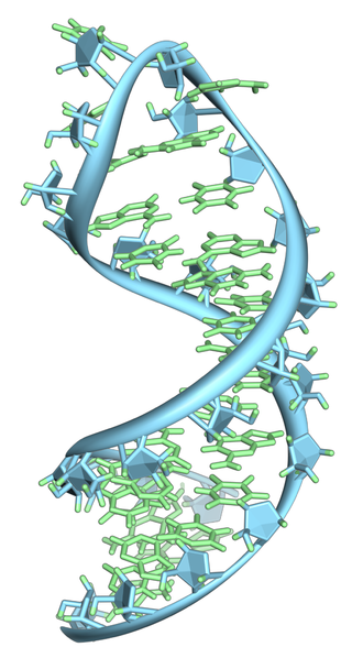 RNA - A hairpin loop from a pre-mRNA. Highlighted are the nucleobases (green) and the ribose-phosphate backbone (blue). This is a single strand of RNA that folds back upon itself.