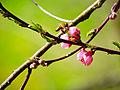 Precious peach nectar (25053179993).jpg
