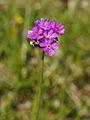 Primula farinosa - Vitranc 2.jpg
