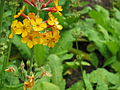 Primulaceae 008.JPG