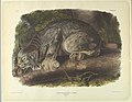 Print, Canada Lynx, Plate XVI, f, ca. 1845 (CH 18466399).jpg