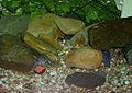 Procambarus alleni (blue 6 months old).jpg
