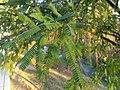Prosopis laevigata - leaves.jpg
