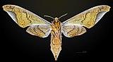 Protambulyx astygonus MHNT CUT 2010 0 34 Guapimirim Rio Brasil female ventral.jpg