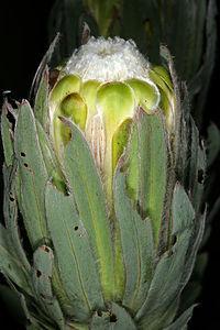 Protea coronata 1-9818.jpg