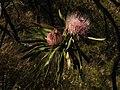 Protea curvata (8373026233).jpg