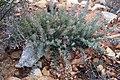Protea sulphurea outramps-tanniedi iNat20173472b.jpg