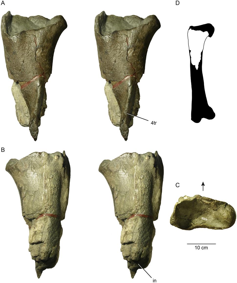 Proximal femur of a large theropod dinosaur from Washington State