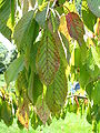 Prunus cerasus sick 03.jpg
