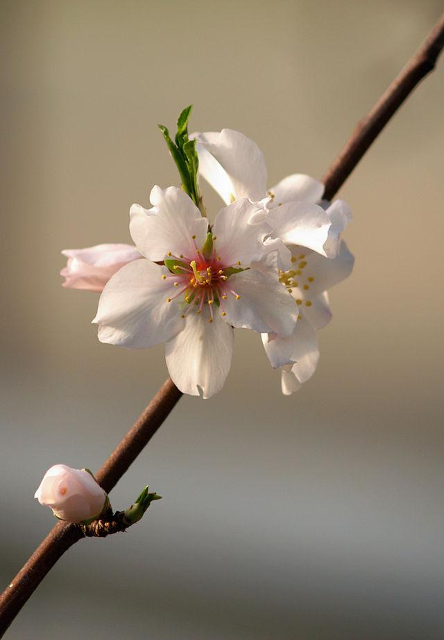 detail des fleurs de l'amandier