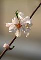 Prunus dulcis LC0009.jpg