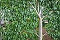 Prunus persica - Longwood Gardens - DSC01166.JPG