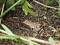 Pseudacris crucifer in D.tenuifolia.jpg