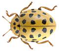 Psyllobora vigintiduopunctata (Linné, 1758) (30453591390).png
