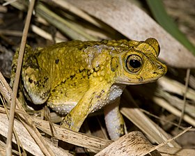 Puerto Rican crested toad.jpg