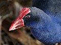 Pukeko (Porphyrio melanotus), Christchurch, NZ (9561572238).jpg