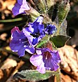 Pulmonaria officinalis ENBLA01.jpg