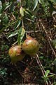 Punica granatum fruit.JPG