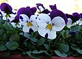Purple and white pansies.jpg