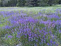 Purple at Yuba Pass - panoramio.jpg