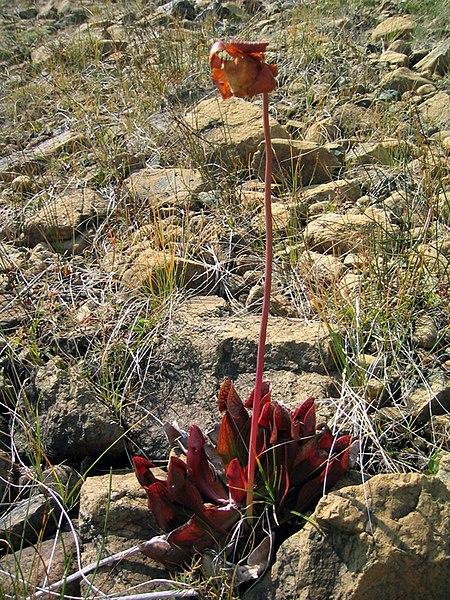 File:Purplepitcherplant.jpg