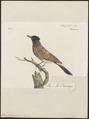 Pycnonotus cafer - 1796-1808 - Print - Iconographia Zoologica - Special Collections University of Amsterdam - UBA01 IZ16400015.tif