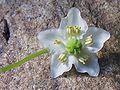 Pyrola uniflora a2.jpg