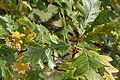 Quercus macrocarpa BW-8140.jpg