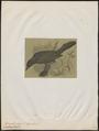Quiscalus major - 1700-1880 - Print - Iconographia Zoologica - Special Collections University of Amsterdam - UBA01 IZ15800307.tif