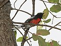 REDSTART, PAINTED.jpg
