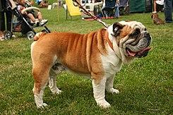 Bulldog Wikipedia La Enciclopedia Libre