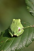 Raganella italiana (Hyla intermedia) - Italian tree frog, Milano, Italia, 09.2018 (6).jpg