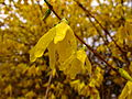 Rain-golden-bells-spring - West Virginia - ForestWander.jpg