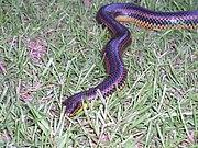 Rainbow Snake taken in Southern Georgia in June 2003 2.jpg