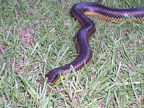 Description de l'image Rainbow Snake taken in Southern Georgia in June 2003 2.jpg.