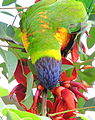Rainbow lorikeet, Trichoglossus haematodus, feeding on flowers of Erythrina x fulgens horticultural hybrid at the Royal Botanical Garden, Sydney, Australia (17070035622).jpg
