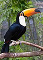 Ramphastos toco -Birdworld, Farnham, Surrey, England-8a.jpg