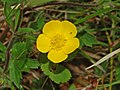 Ranuncolaceae - Ranunculus repens-1 (8303630523).jpg