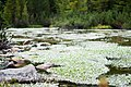 Ranunculus aquatilis IMG 4405.jpg