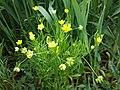 Ranunculus arvensis sl6.jpg