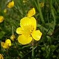 Ranunculus auricomus.JPG