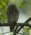 Raw25-Dooars DSC0013 Jungle owlet himadrimondal crp-tight.jpg