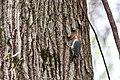 Red-bellied woodpecker (33304721670).jpg