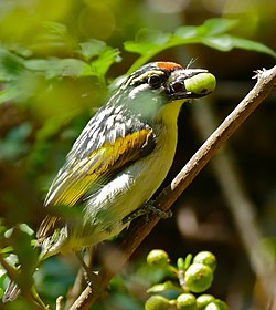 Red-fronted Tinkerbird (Pogoniulus pusillus) eating green fruit ... (32285048272).jpg